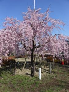 花見 鶴舞公園